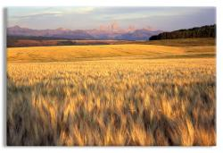 Golden Wheat Field before the Grand Teton Mountain Range