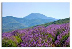Lavender Field in Verdant Mountain Landscape