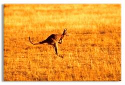 Cruising Kangaroo