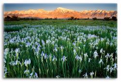 Wild Irises of the Sierra Nevada