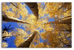 Golden Canopy of Aspens